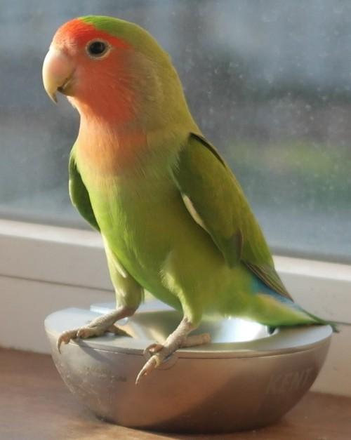 Нашелся попугай